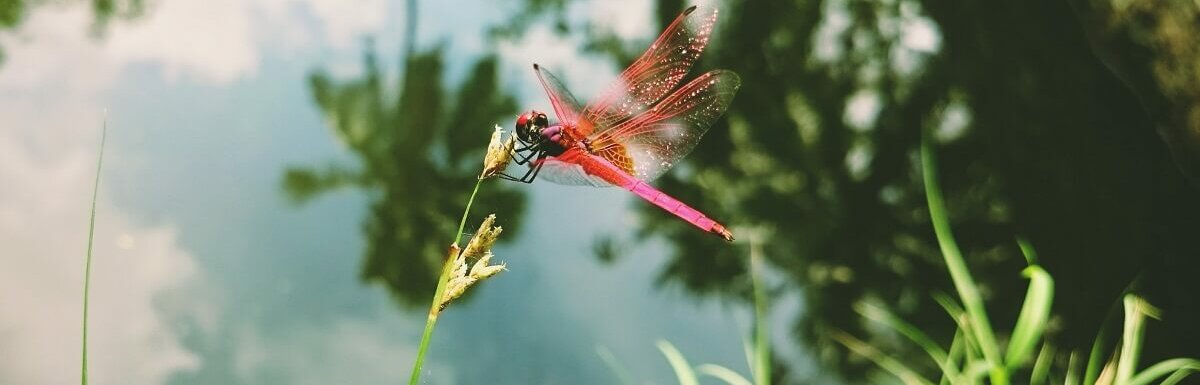 plant to attract dragonflies