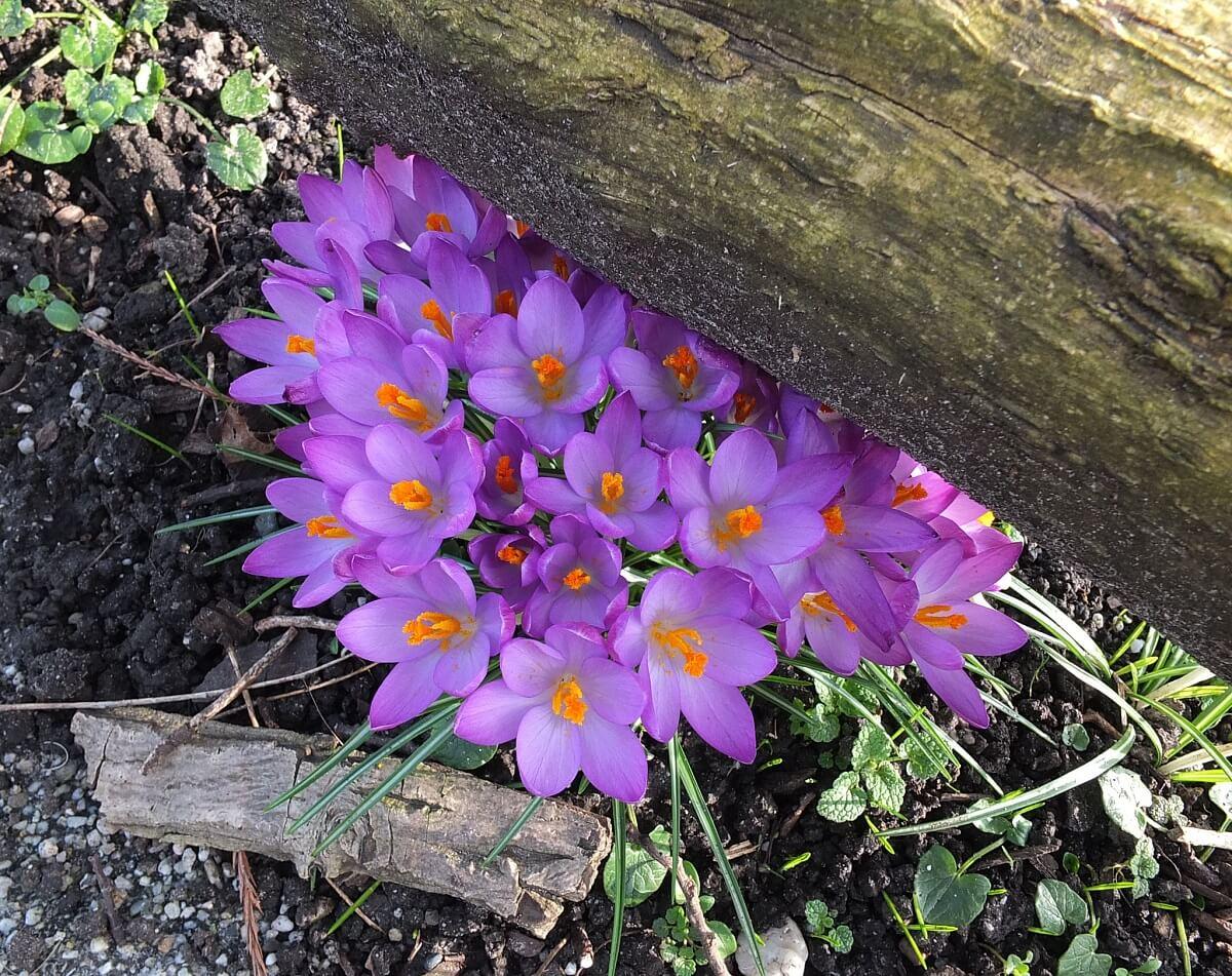 crocus spring bulb