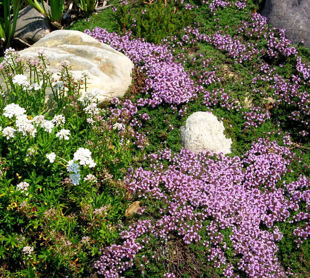Creeping Thyme: A Beautiful Groundcover To Replace Your Lawn