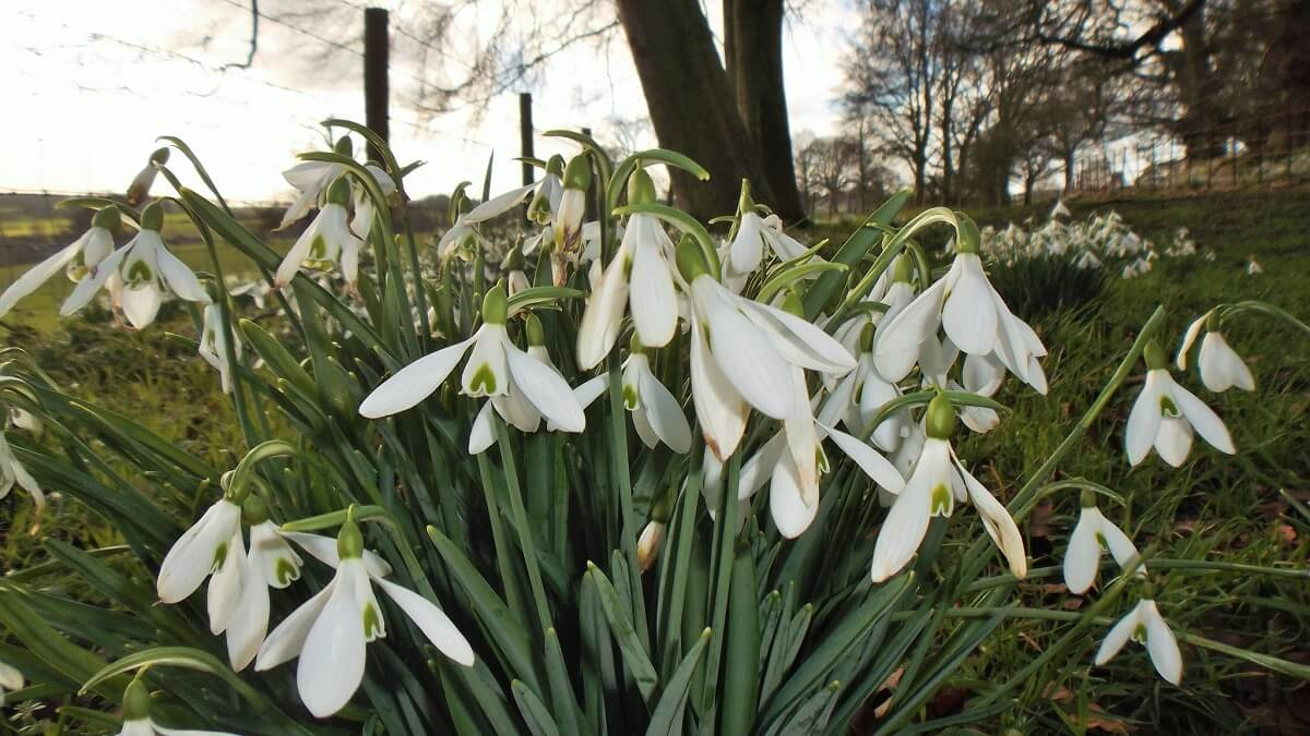 snowdrops spring bulbs