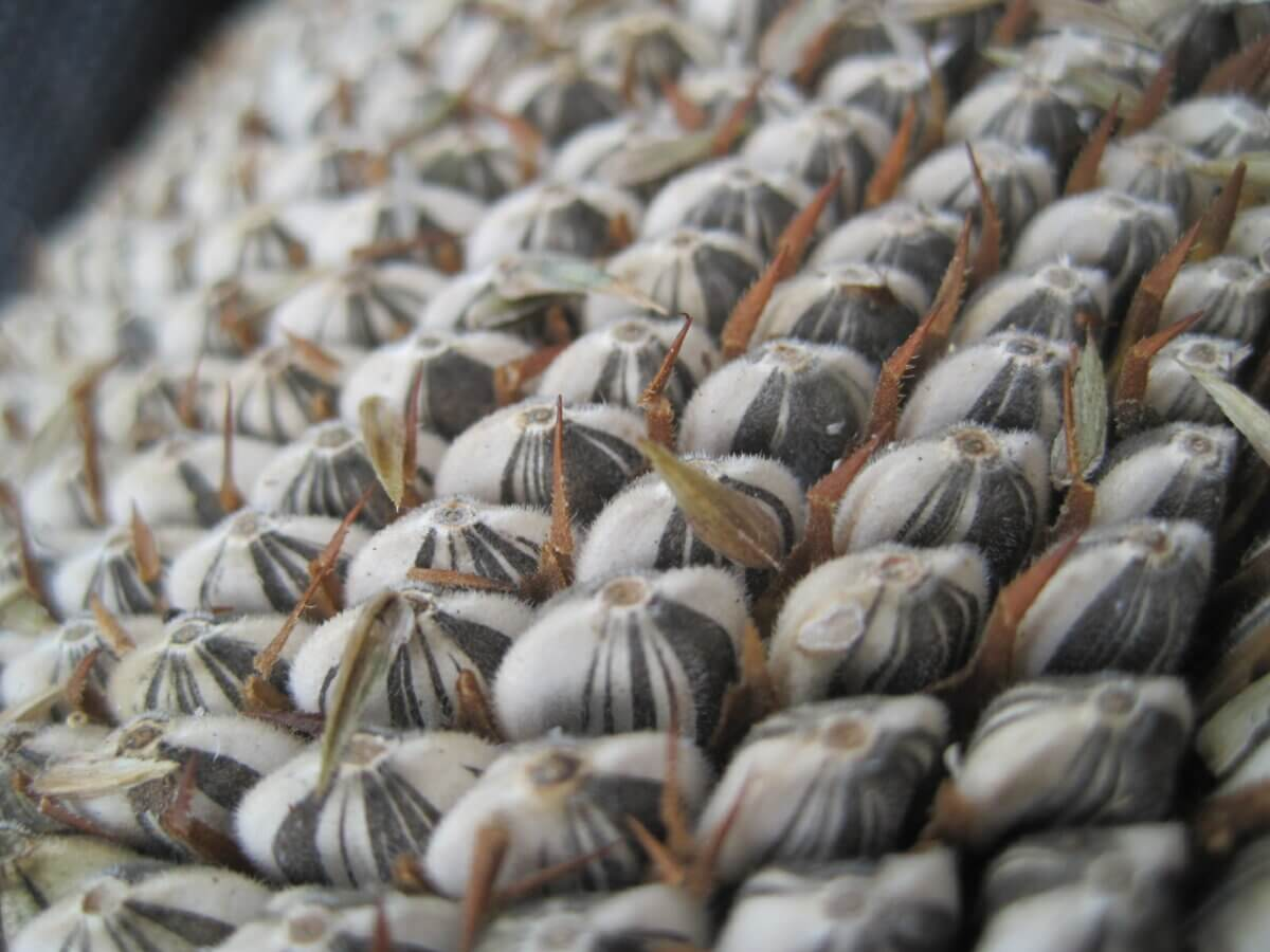 sunflower seeds up close
