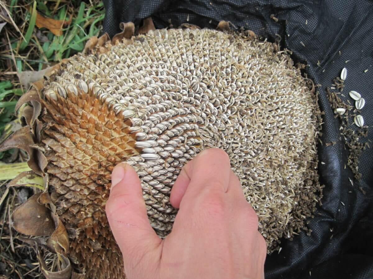 hand harvesting sunflower seeds