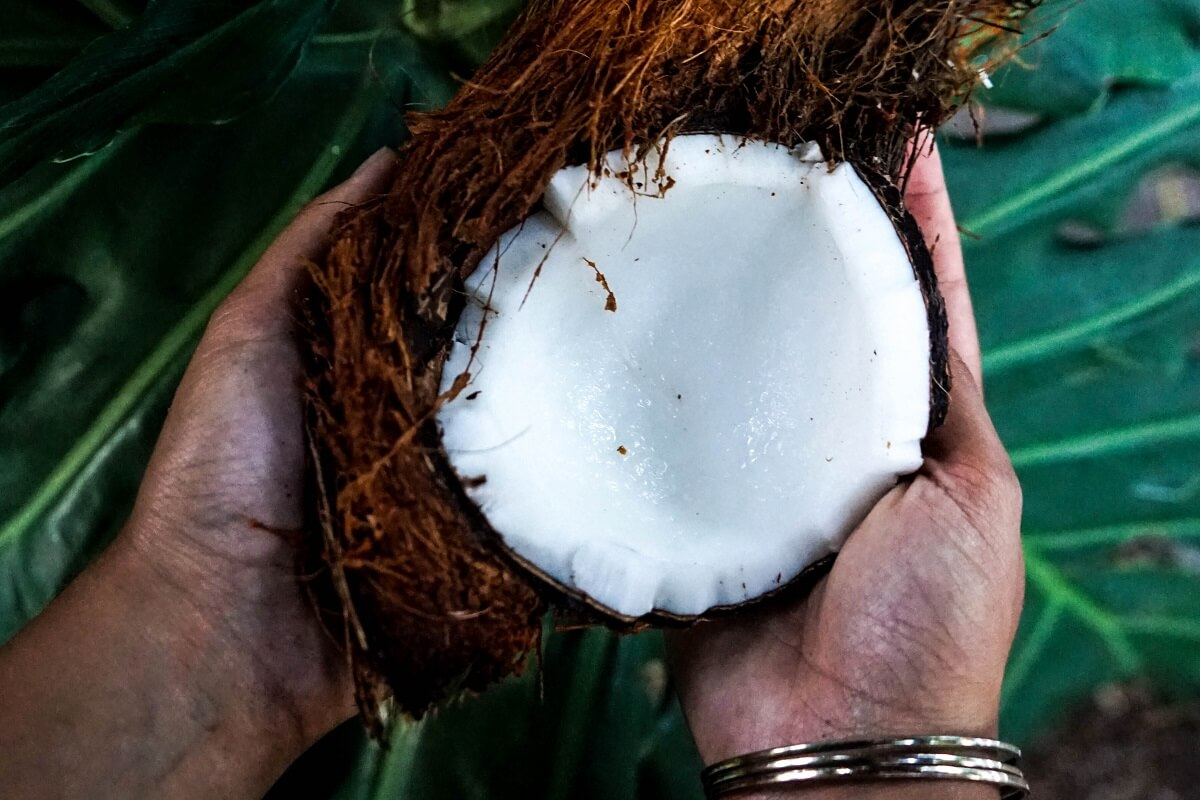how to harvest coconut