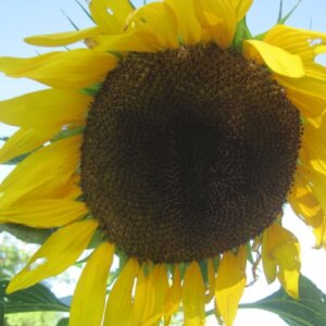 how to harvest sunflower seeds