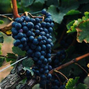 best wine grapes