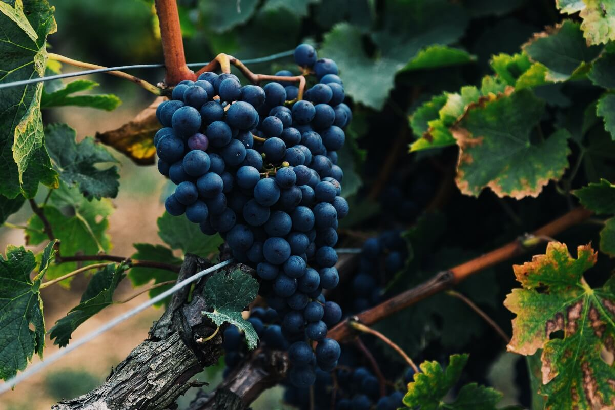 best wine grapes