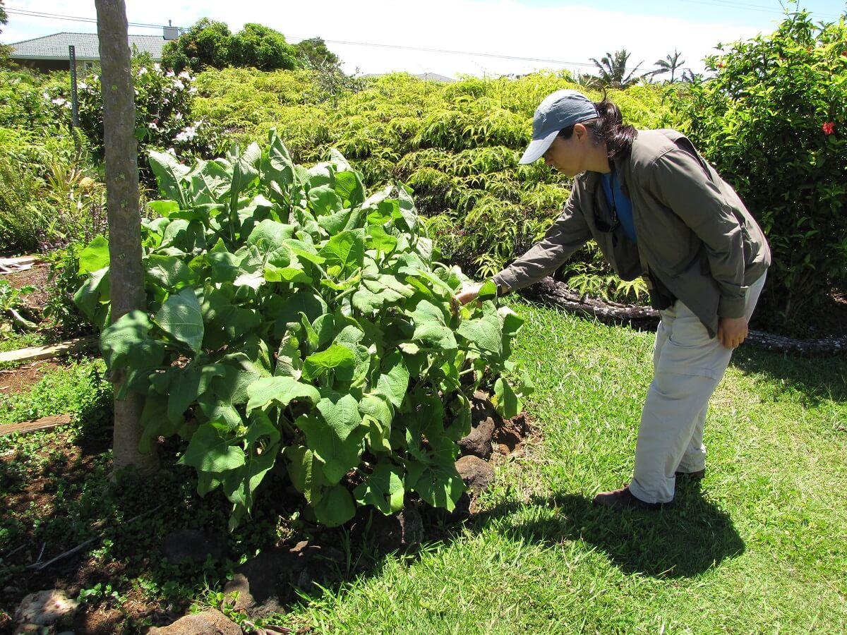 yacon plant
