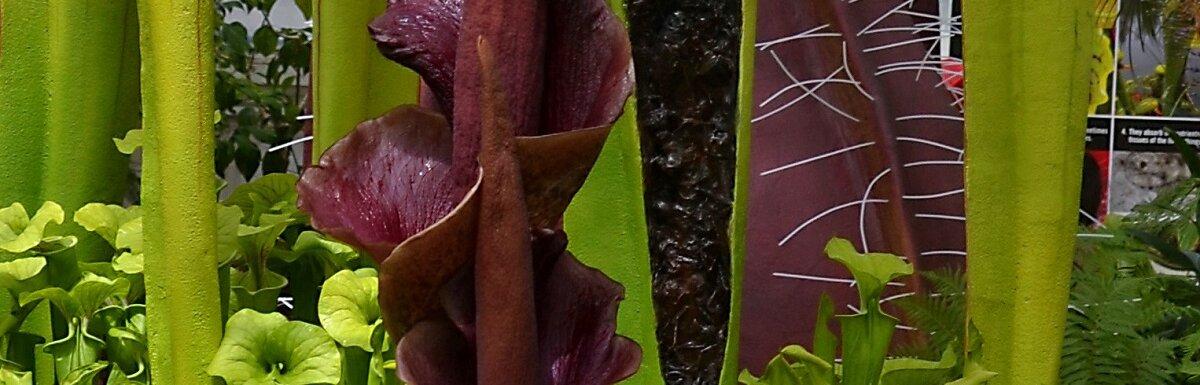 kanjoc plant
