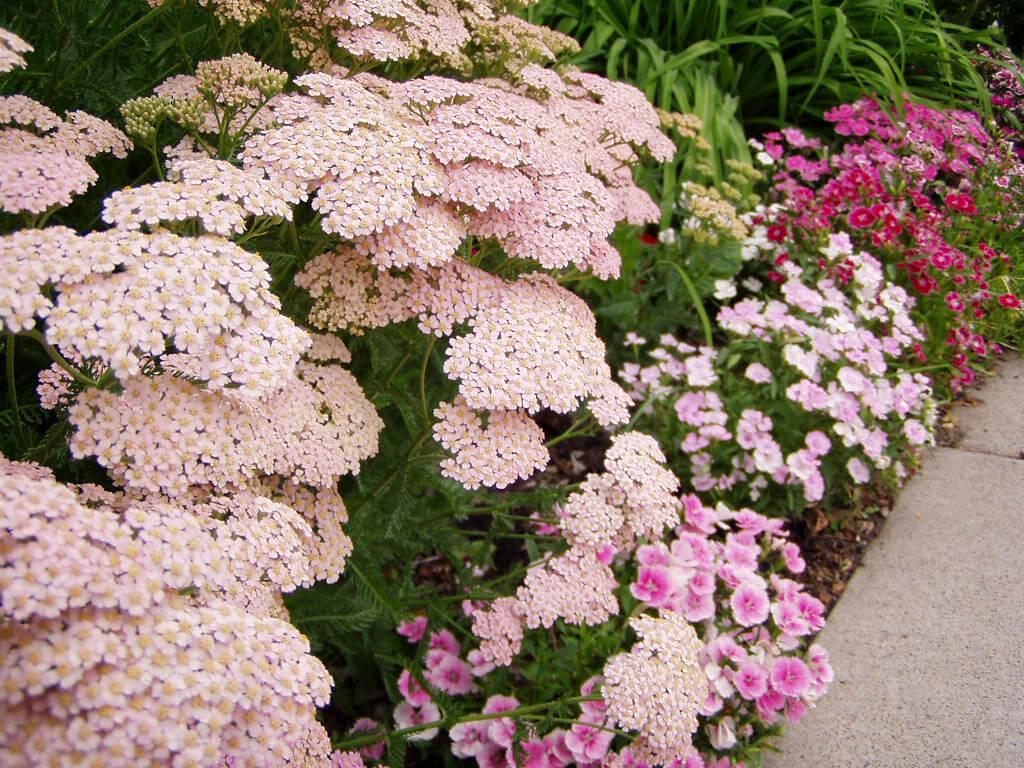 yarrow plant