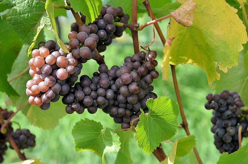 pinot gris best wine grapes