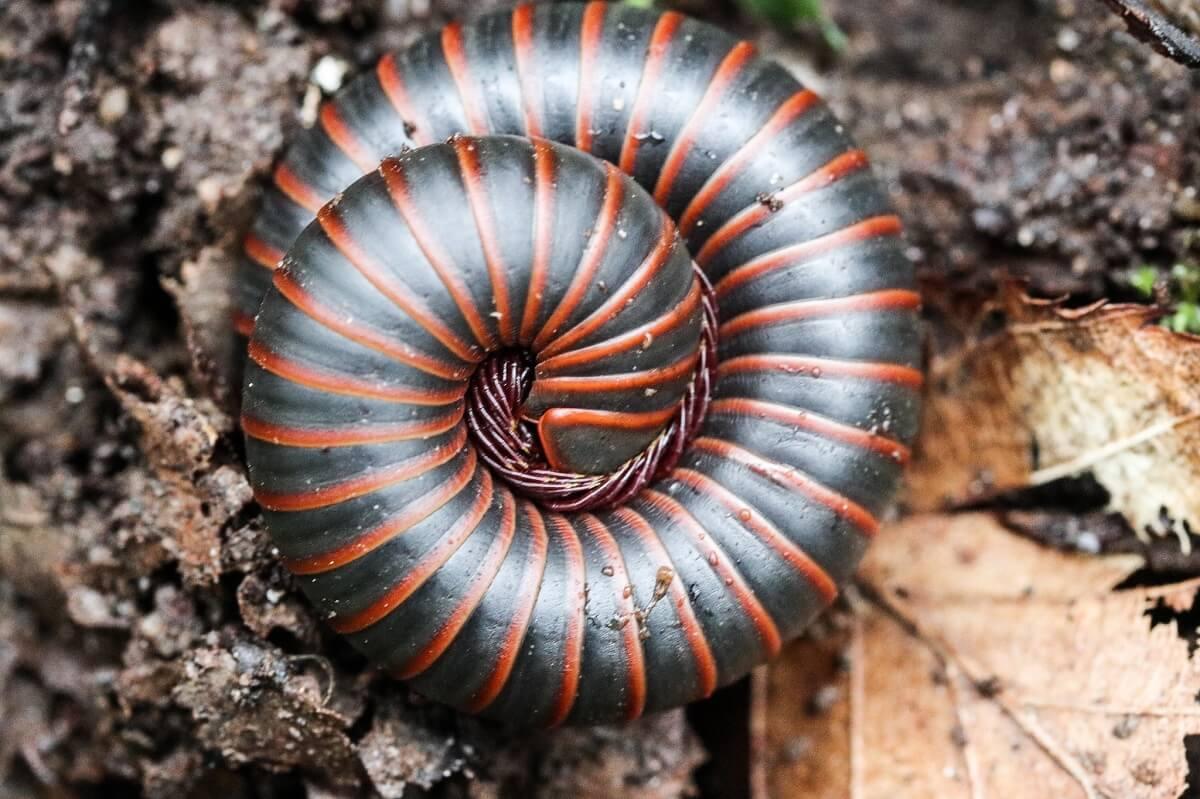 american giant millipede Fibonacci sequence