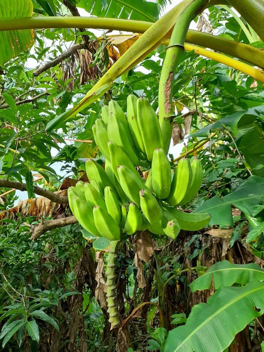 banana plant fruiting