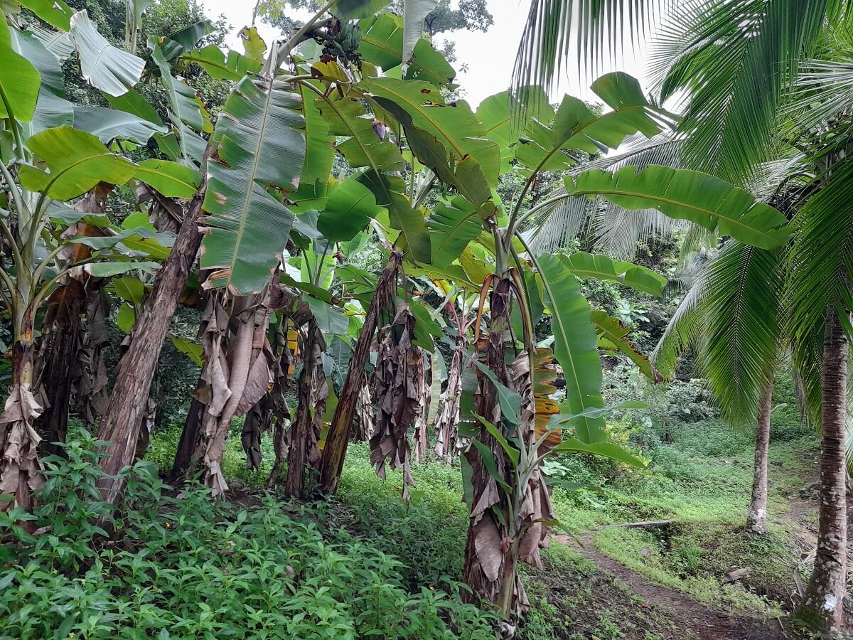 banana plants growing bananas