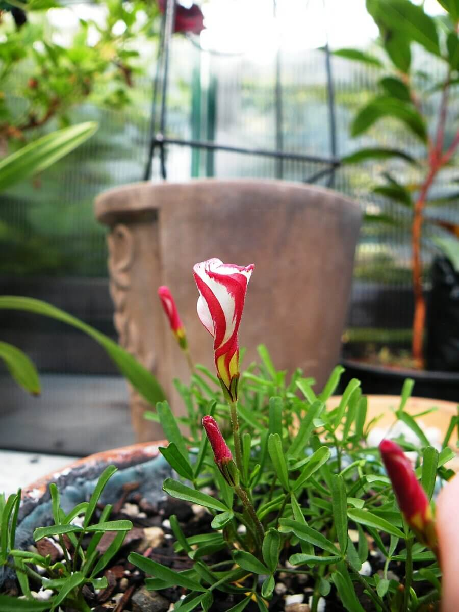 single candy cane flower