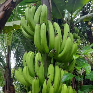how to grow bananas