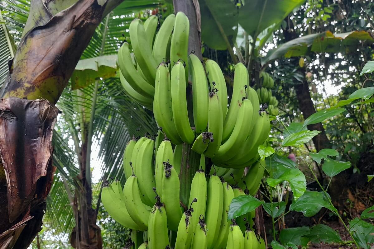 growing bananas in groups