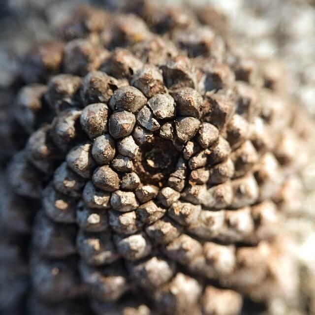 pinecone Fibonacci sequence