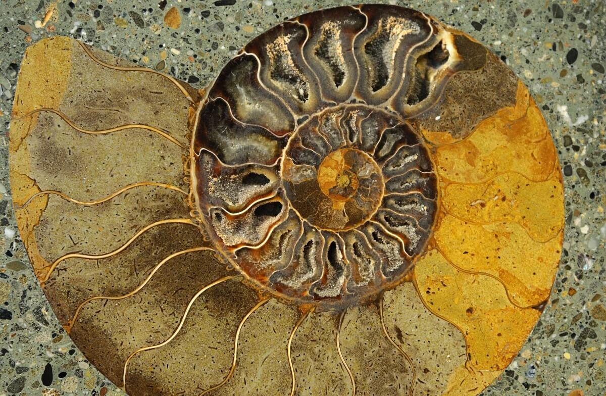 shell fossil Fibonacci sequence