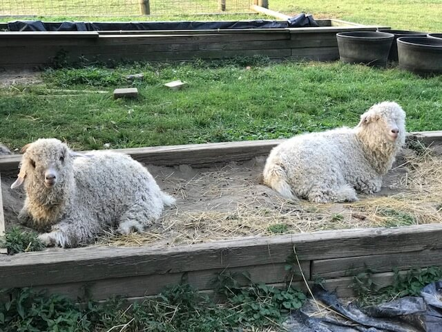 angora goats lounging