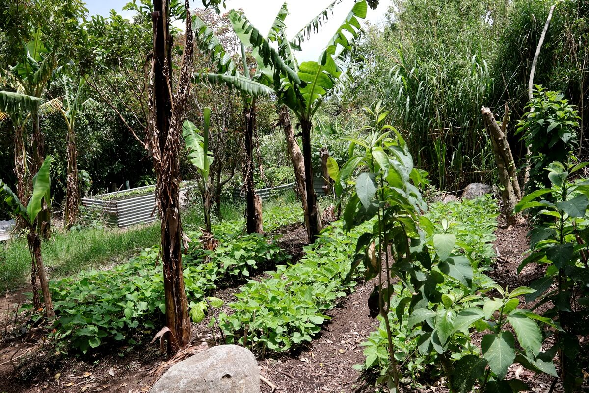 growing black beans