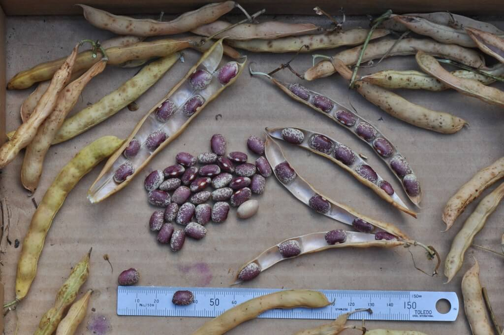 harvested beans