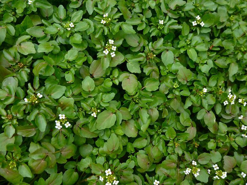 watercress winter foraging