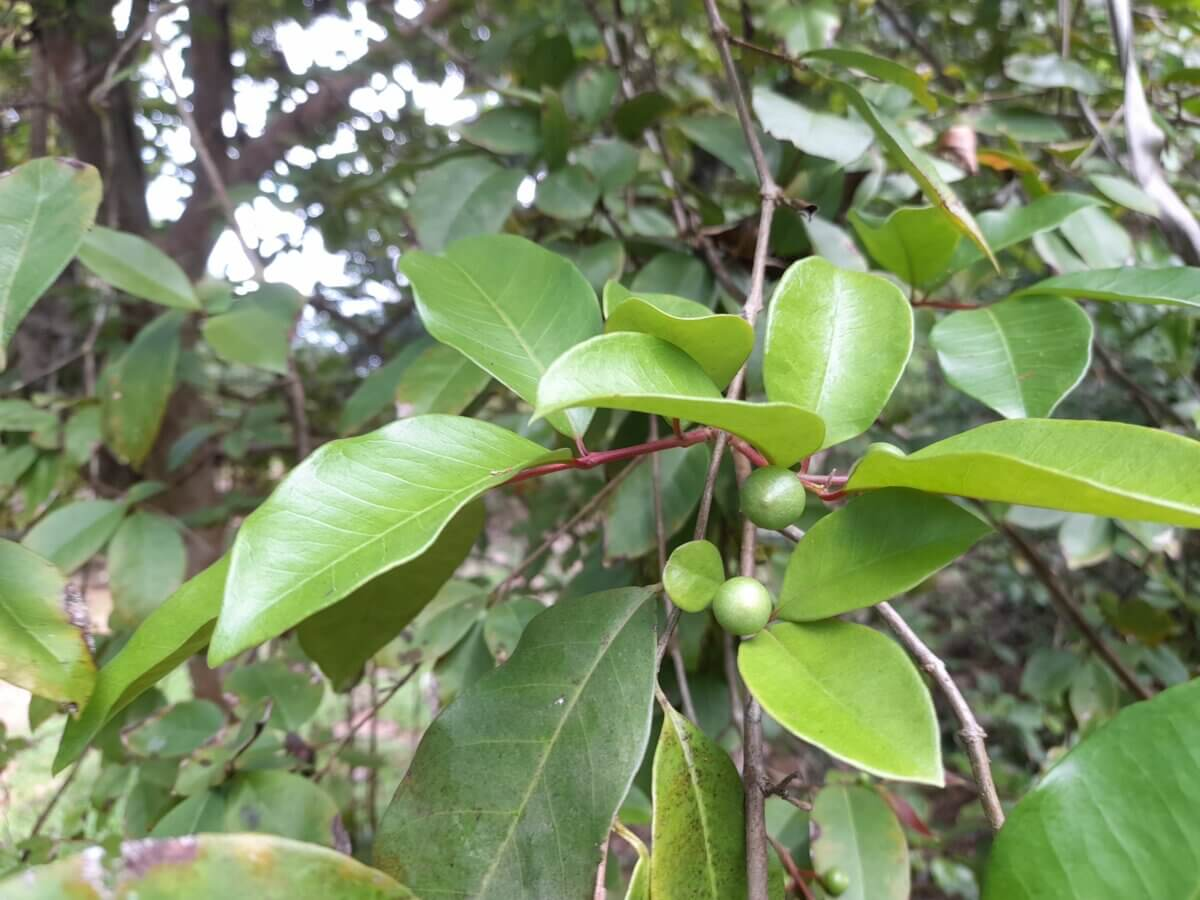 cas tree