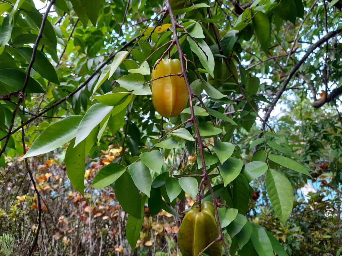 starfruit tropical fruit trees