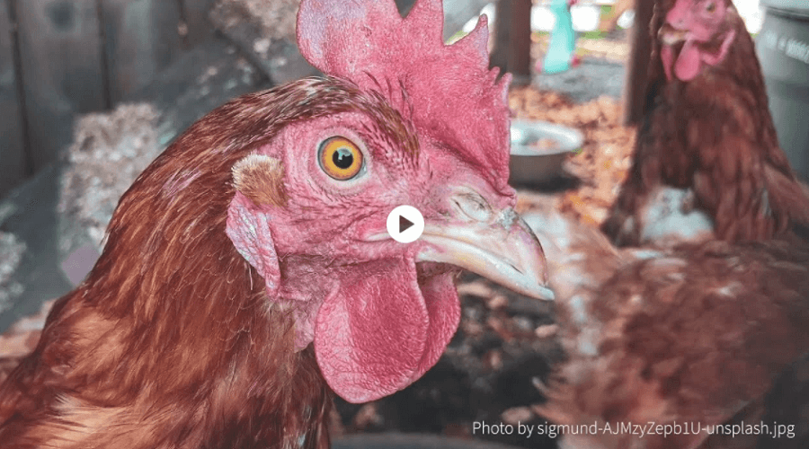 chicken behavior