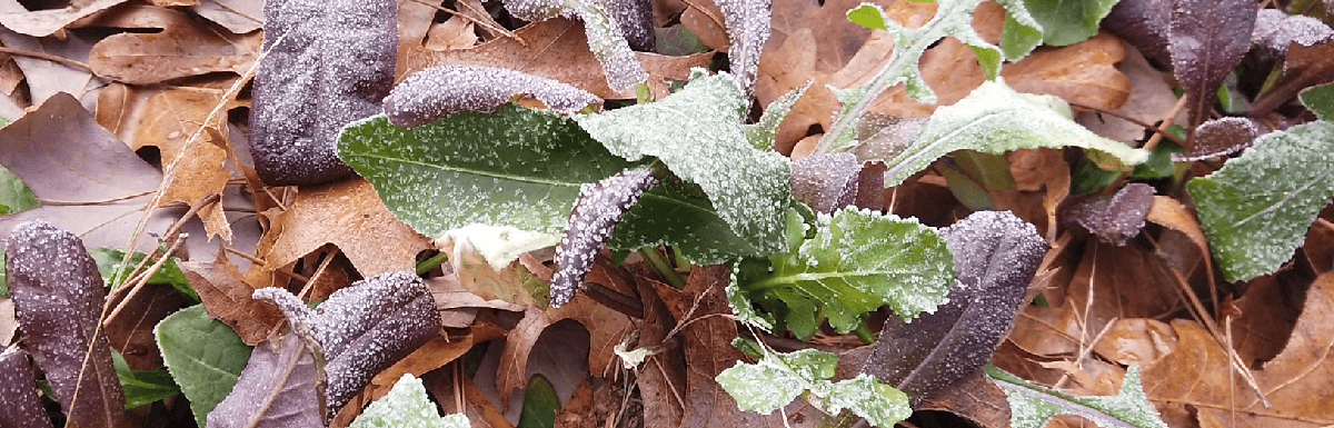 protect plants from frost with leaves