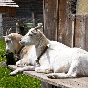goat shelter