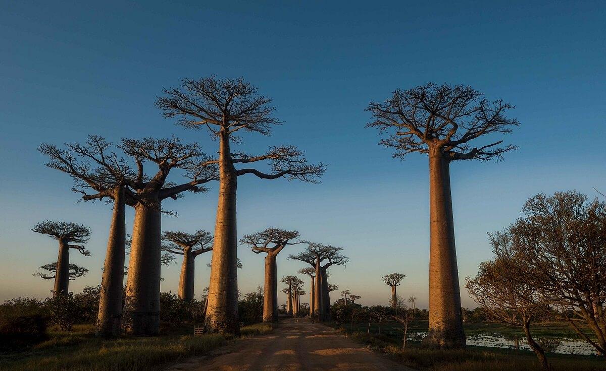 baobab trees at night