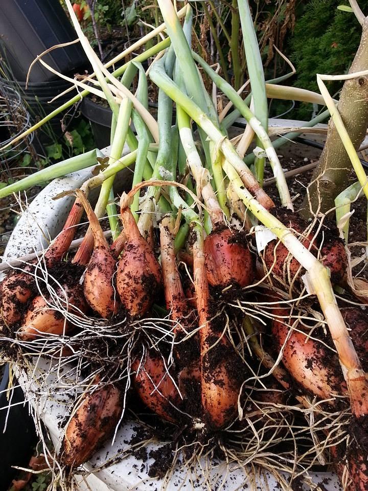 harvesting shallots