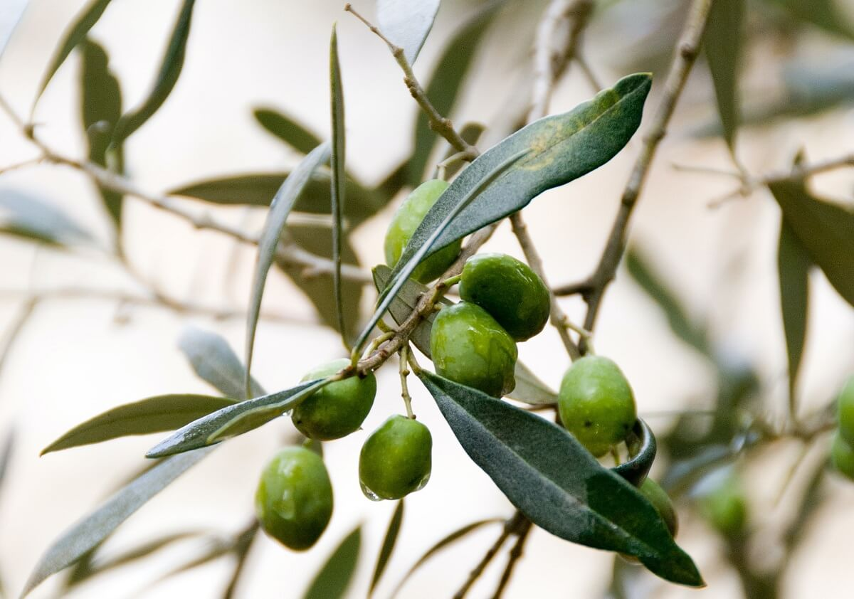 olives for homemade olive oil