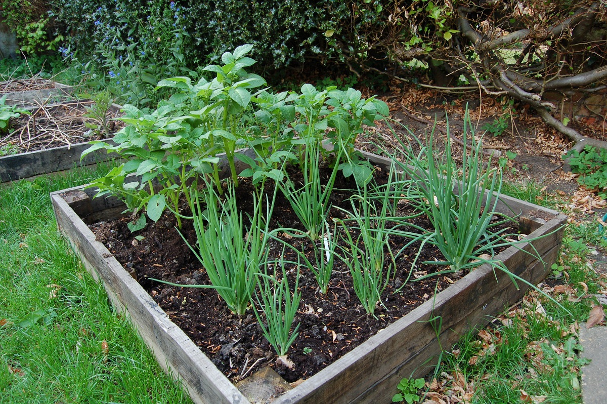 shallots and potatoes in a garden bed