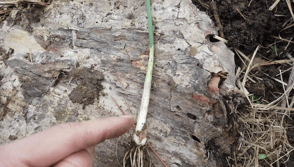 field-garlic-leaves