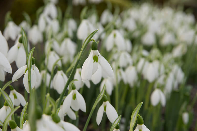 giant-snowdrop-flower