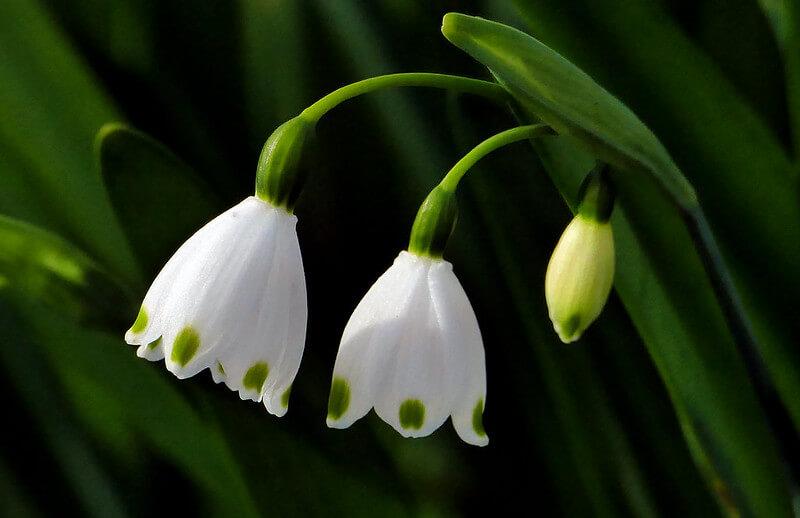 spring-snowflake-flower