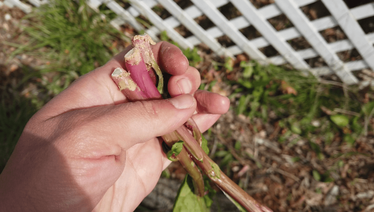 early-spring-pokeweed-shoots