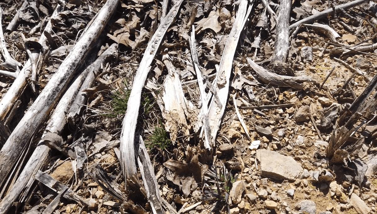dead-pokeweed-stems