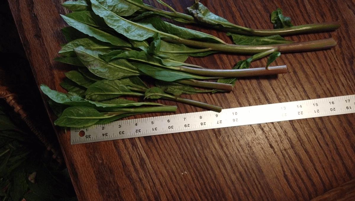 pokeweed-length