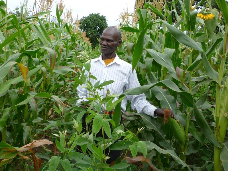 FARMER PRACTICING MAIZE-PIGEON PEA INTERCROPPING