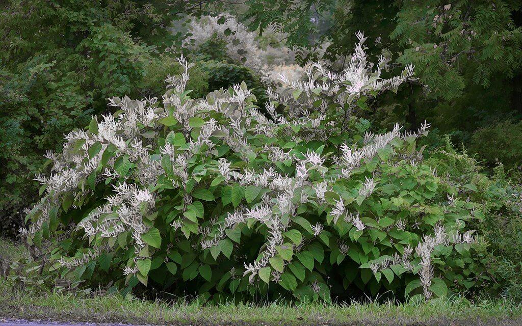 japanese knotweed bush