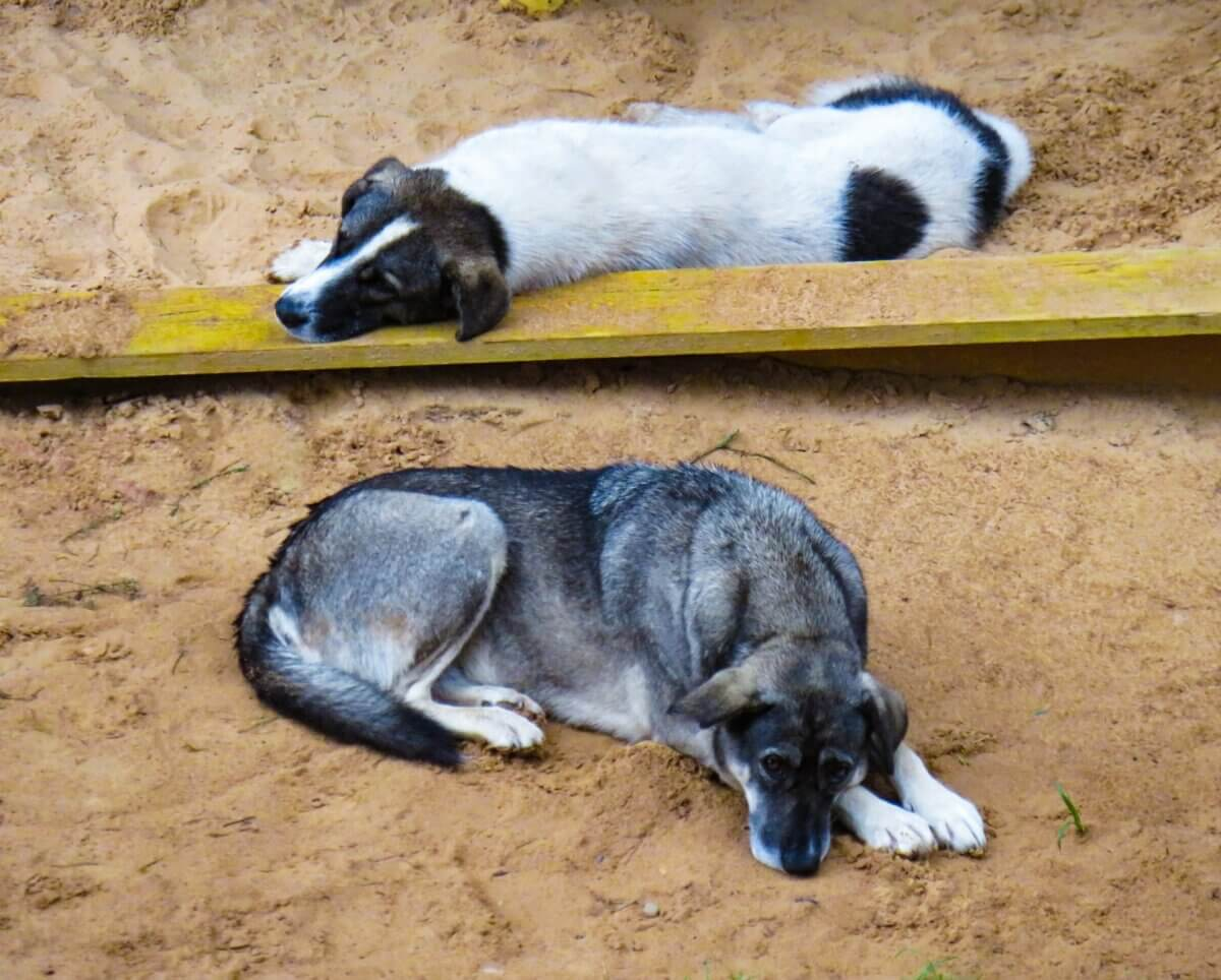dogs laying in sand