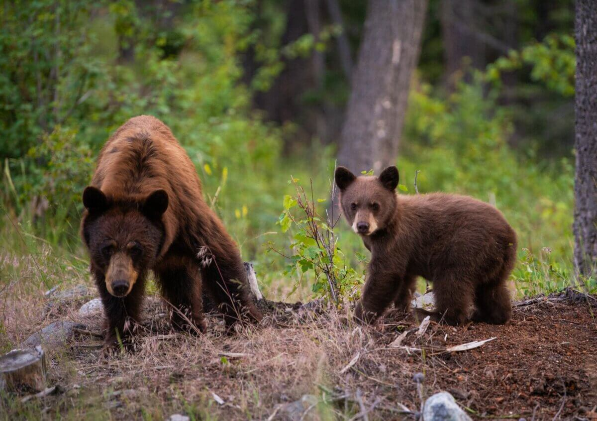 bear and her cub in the wild