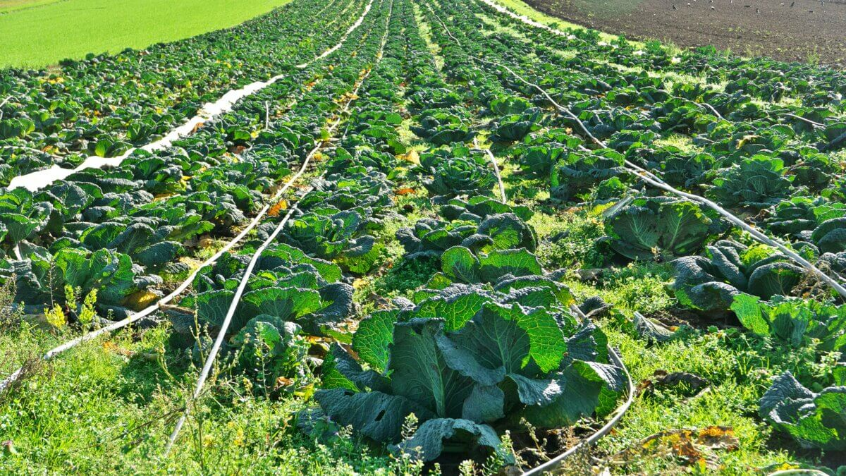 cabbage spacing