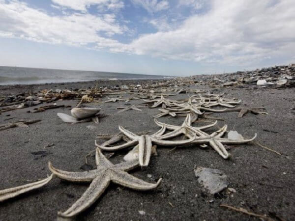Dead Starfish. Photo Gerald Herbert. bp oil spill