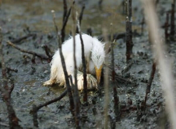 dying Heron in oil bp oil spill