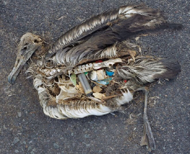 plastic in birds