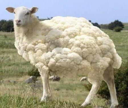gmo-sheep